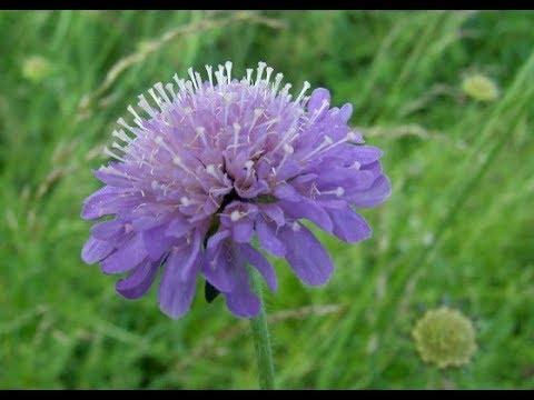 Короставник полевой  Knautia arvensis