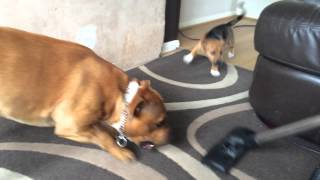 I See My Staffordshire Bull Terrier & Jack Russell Attack Henry
