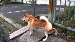 柴犬 スペックの散歩 尼崎市城内