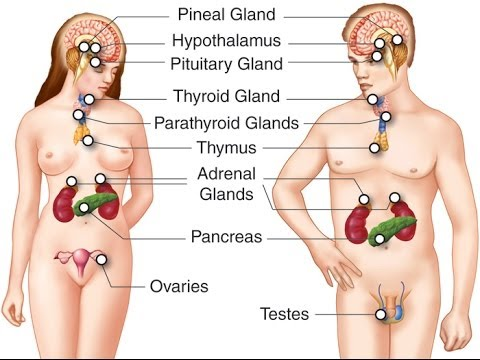 endocrine system is a major role The diffuse endocrine system (other organs and tissues that secrete hormones) tissue/organ: hormone(s) released: adipose tissue (fat) (note that with development of truncal obesity, adipose tissue begins to function as a major player in the endocrine system.