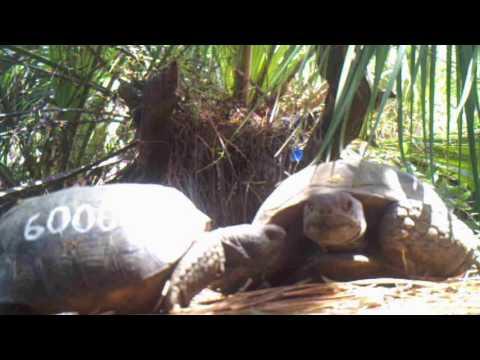 Zoo Miami Gopher Tortoise Video