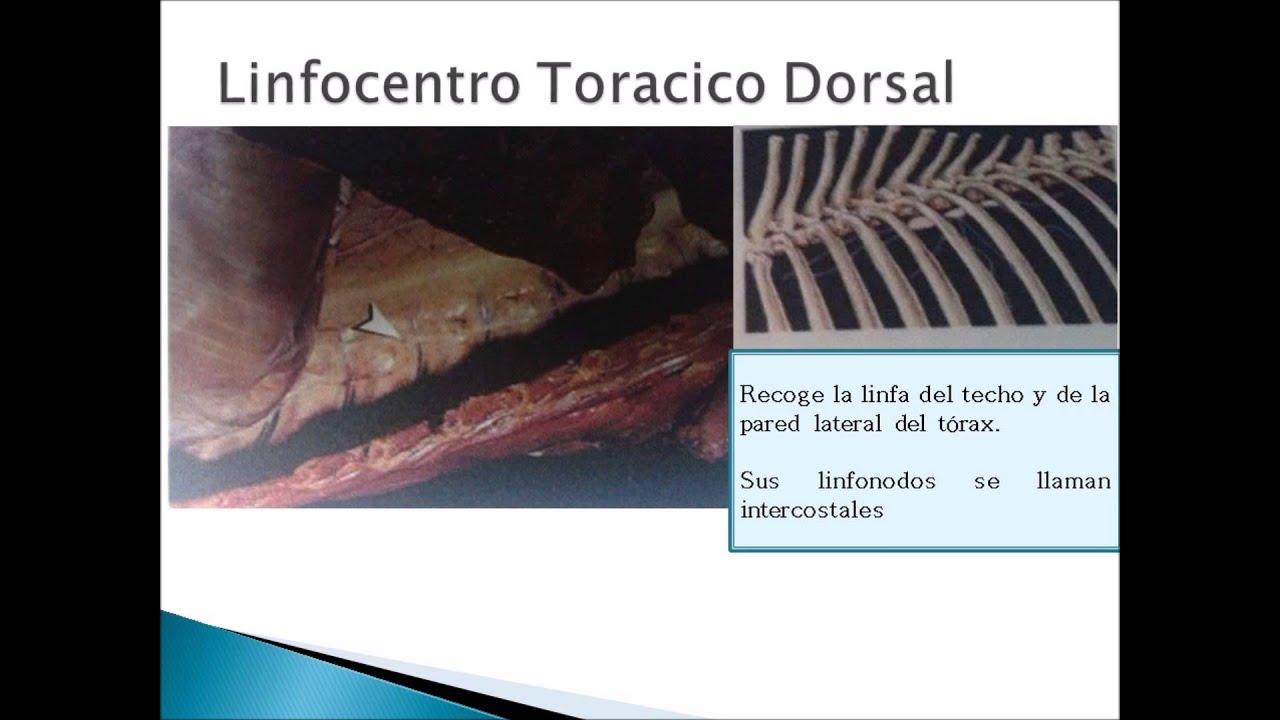 Vistoso Anatomía Bazo Canino Composición - Anatomía de Las ...
