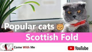 The Cat Breed With A Dog Personality  Scottish Fold  Popular Cats
