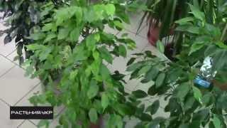 Как правильно ухаживать за Фикусом бенджамина   How to properly care for Ficus benjamina(Как ухаживать за фикусом Бенджамина!!!, 2015-01-28T19:25:57.000Z)