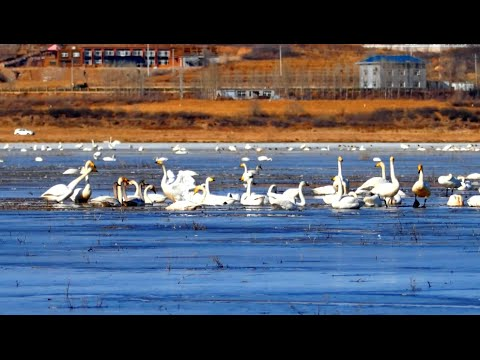 Swans Migrate to Northeast China Wetland