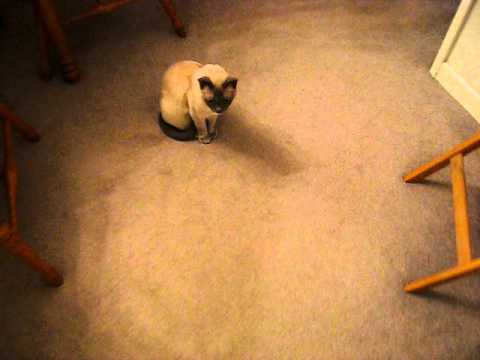 Talking Tonkinese Cat