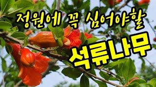 정원에 심어야할 다산과 풍요의 상징,석류나무