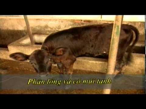 Bệnh thường gặp ở bò