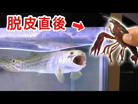 腹ペコの肉食魚に脱皮直後のザリガニを与えた結果・・・!