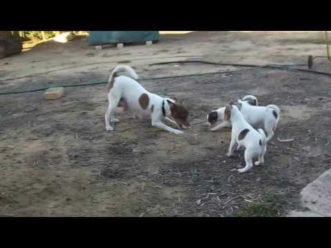 Tenterfield Terrier Rosie 2nd litter (6weeks)