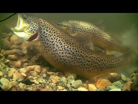 Brown trout mating spawning shedding/ lying eggs in wild underwater. Нерест форели подводная съёмка.