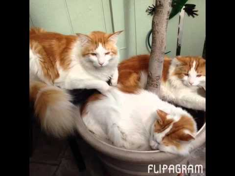 Maine coon cats growing up