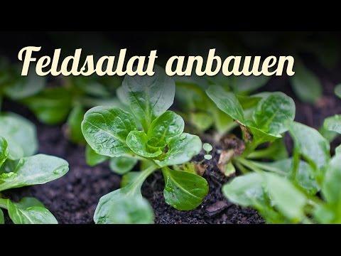 feldsalat-im-frühbeet-anbauen-🍃-salat-für-den-winter-pflanzen