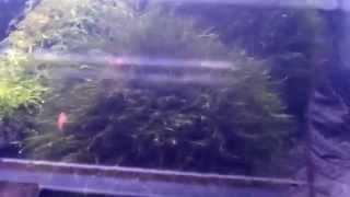 Mchy - hodowla i dystrybucja Argus Aqua Design&Garden 695 80 70 66, (71)389 12 17