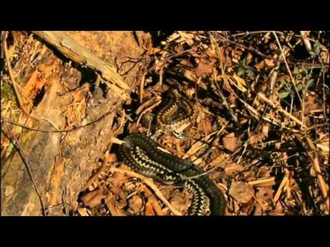 Adders on The Great British Year (2013)