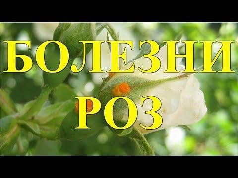 Болезни роз и методы лечения