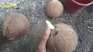 Step by step membuat bonsai kelapa dari awal Tunas