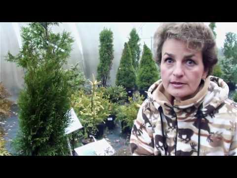 Тис Уход, выращивание, размножение Деревья Хвойные