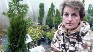 Хвойные растения для сада  Сорта туи.  Сайт