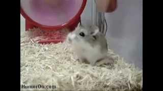 Verrückter Hamster im Laufrad!