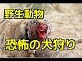 【閲覧注意】①トラが犬を捕食 トラの攻撃の前に為す術無・・②ジャガーVS猟犬/ヒョウVS犬③ライオンのグロ捕食シーン