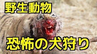 【閲覧注意】①トラが犬を捕食 トラの攻撃の前に為す術無・・②ジャガーVS...