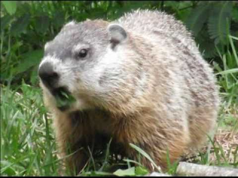 Hungry Woodchuck aka Groundhog eating my backyard by Nancy ...