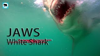 Jaws Mega Great White Sharks Unbelievable 4K Video