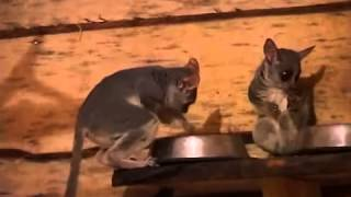 Сенегальские галаго