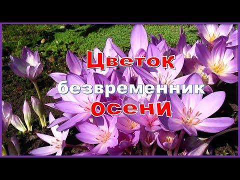 Вопрос: Какой вид камнеломки цветет в сентябре?