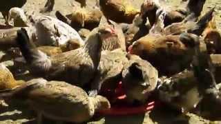 Kurczaki wcinają mięso