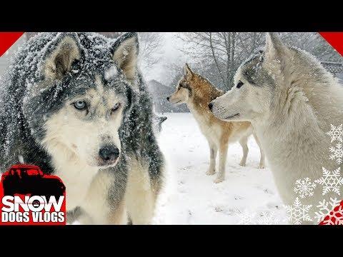 Huskies Got More Snow   Winter is NOT Over!