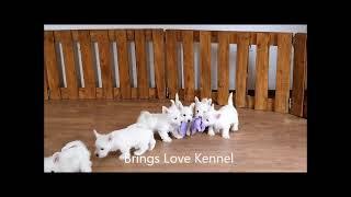 Puppy west highland white terrier  Brings Love Kennel