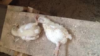 Почему дохнут цыплята?