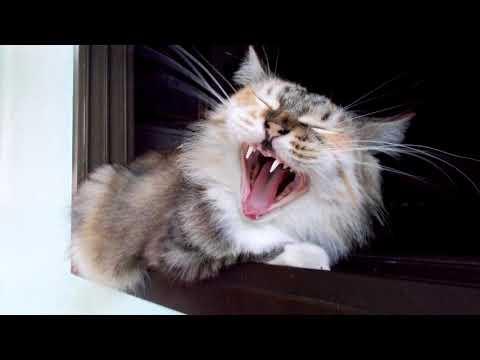 เสียงแมวร้องขู่กันน่ากลัว ไว้ใช้แกล้งแมวขำๆ