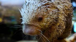 Snacktime with Tyson, Shedd's prehensile-tailed porcupine
