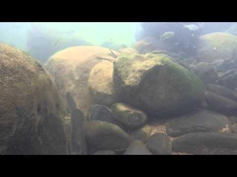 Costa Rica Underwater (Tomocichla tuba)