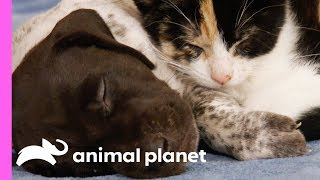Puppy Competes With Kitten To Take Charge Of Her Pack Of Siblings | Too Cute!