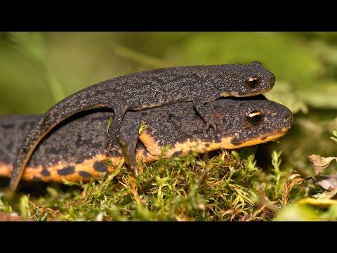 Огненная саламандра — Википедия