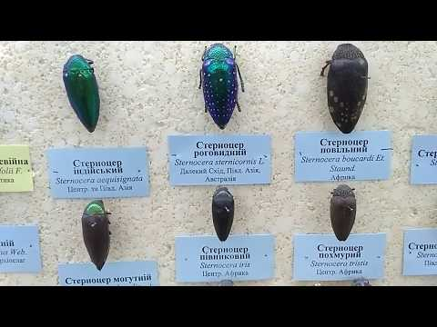 Jewel Beetles (Buprestidae), National Museum of Natural Sciences, Kiev, Ukraine