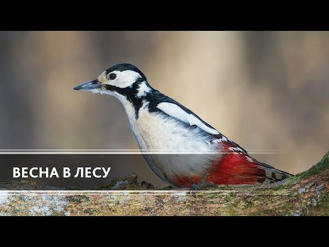 Весна в лесу (Spring in the Forest)