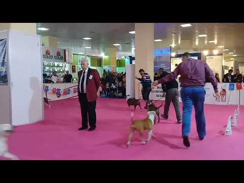 Bosphorus Terrier Show Open Class