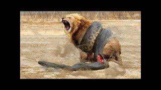 自然界の狂戦士たちの死闘 - ライオンエレファントヒョウヒヒ ハイエナ...