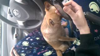Gambar cover Puppy's funny reaction to cat ringtone