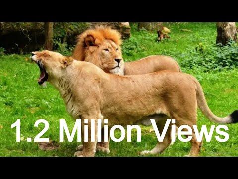 जंगल का राजा शेर और रानी शेरनी पहुंचे खेत में Forest king lion & Queen Lioness arrived in the farm