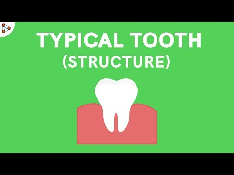Structure of a Typical Tooth - CBSE 11