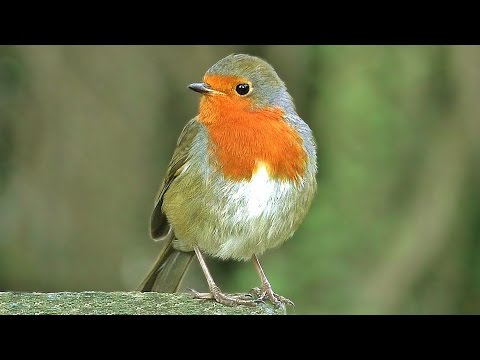 Bird Sounds : Robin Birds Singing & Chirping - BEAUTIFUL 8 Hour Video & Bird Sounds