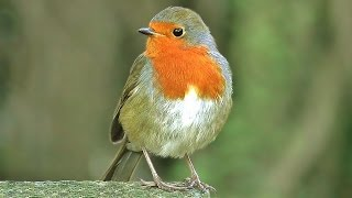Bird Sounds : Robin Birds Singing & Chirping - BEAUTIFUL 8 Hour Video & Bird Sounds