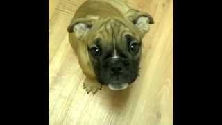 Bulldog Pug Mix.
