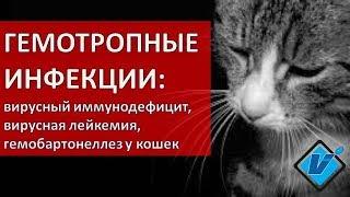 Гемотропные инфекции кошек в Москве (иммунодефицит, лейкемия, микоплазма)